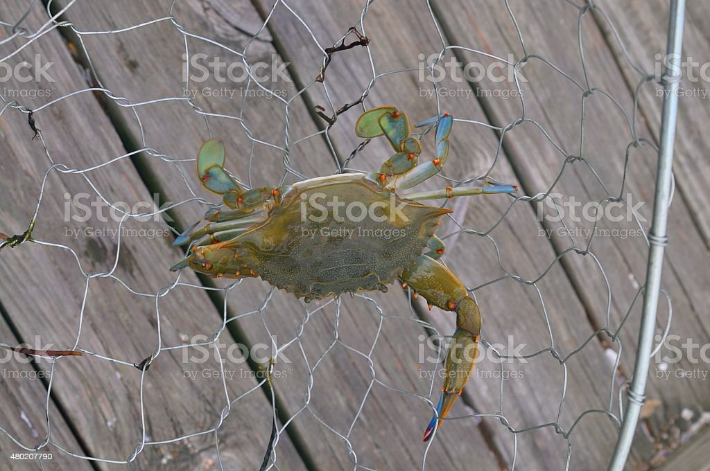 Maryland Blue Crab In Basket stock photo