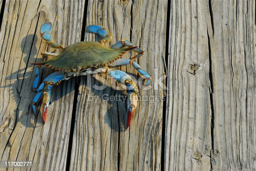 A female Maryland Blue Crab from the Chesapeake Bay walks along a pier after being caught by a fisherman in the late afternoon.