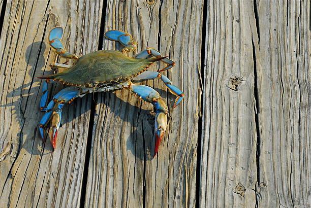 maryland blue crab - blauwe zwemkrab stockfoto's en -beelden