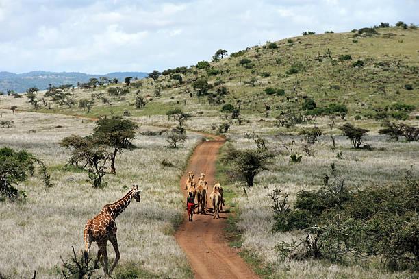 Masai Camel herd and giraffe stock photo