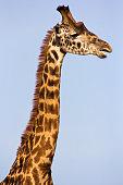 Profile of a masai giraffe from the neck up - Masai Mara, Kenya
