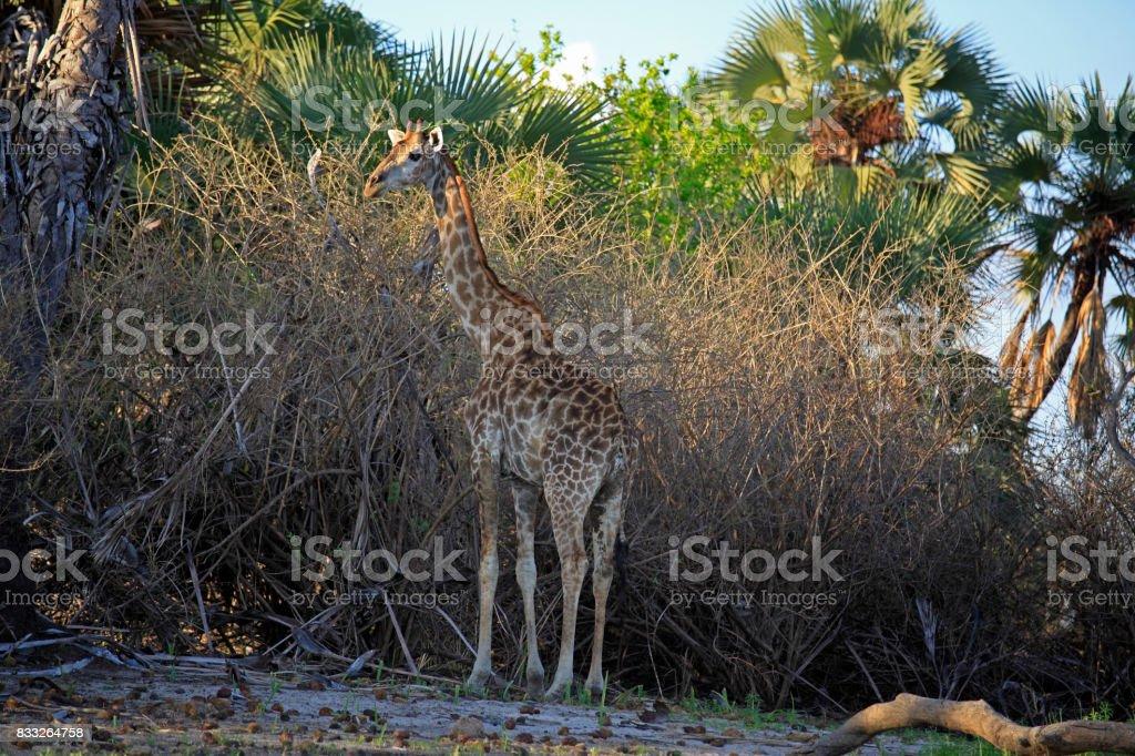 Masai giraffe, Selous Game Reserve, Tanzanie stock photo
