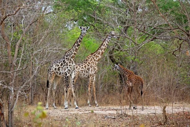 Masai-Giraffe, Selous Game Reserve, Tanzanie – Foto