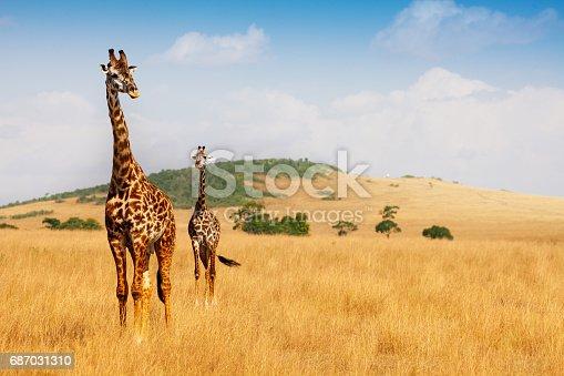 Portrait of two Masai giraffes walking in the dry grass of Kenyan savannah, Africa