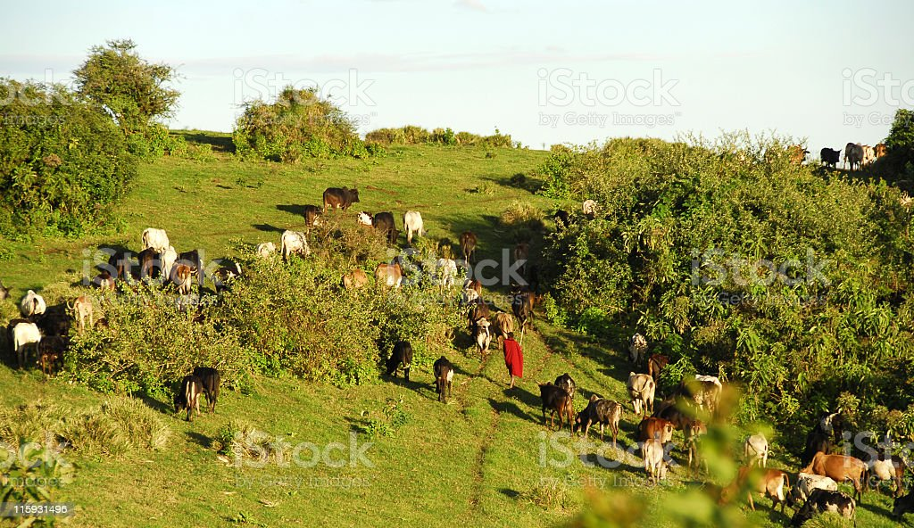 Masai herding cattle in the late afternoon stock photo