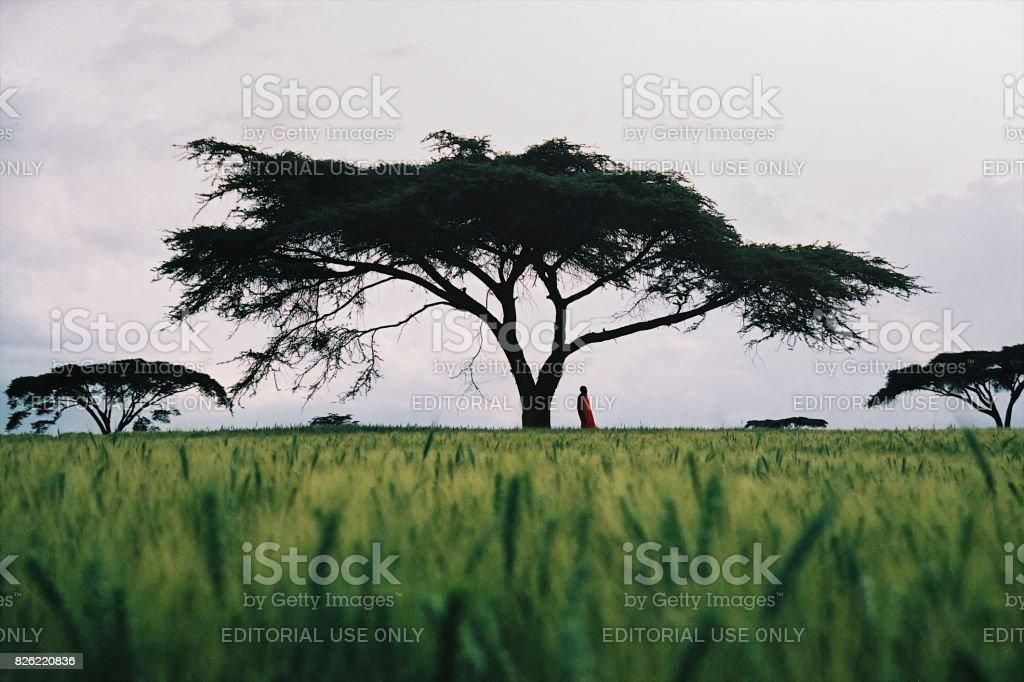 Masai man standing under an Acacia Tree stock photo
