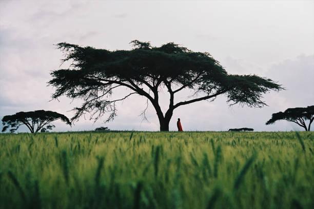 Masai man standing under an Acacia Tree stock photo