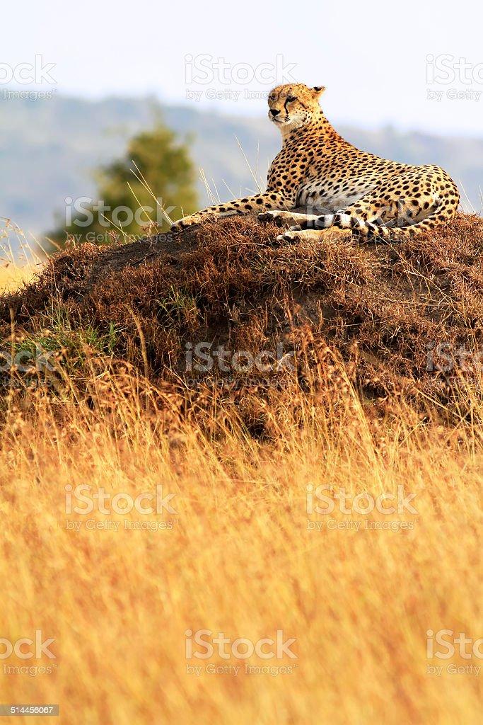 Masai Mara Cheetah stock photo