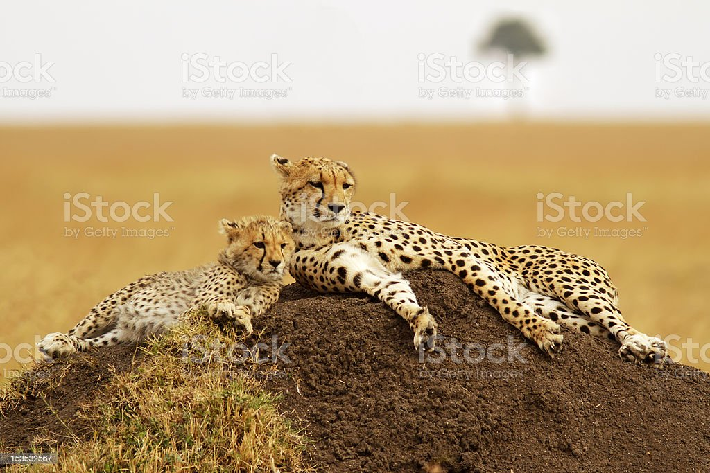 Masai Mara Cheetahs stock photo