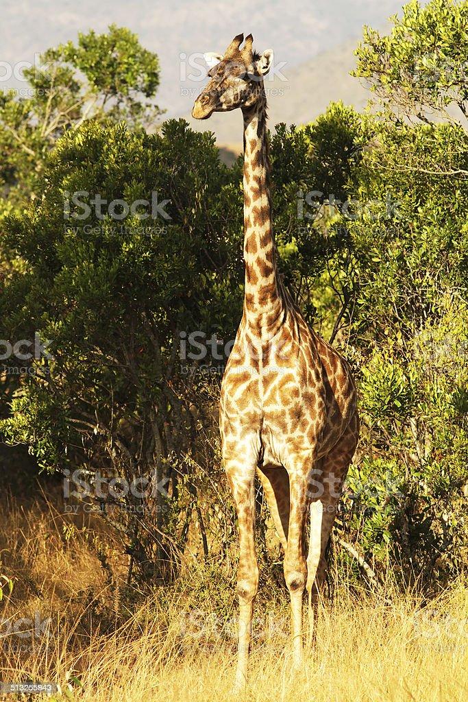 Masai Mara Giraffe stock photo