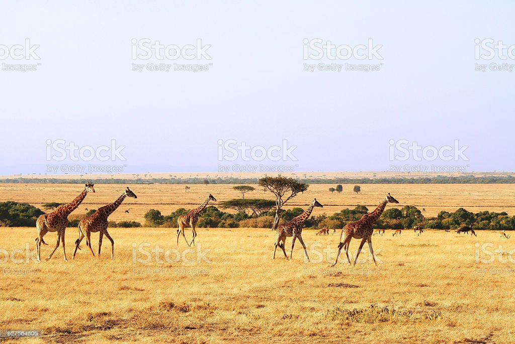 Masai Mara Giraffes stock photo