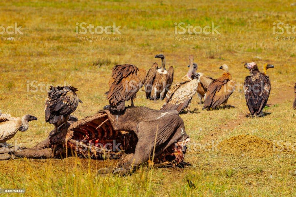 Masai Mara, Kenia - eine Gruppe von Geier ernähren sich von den Kadaver eines Büffels Mara, die von einem Rudel Löwen getötet wurde – Foto