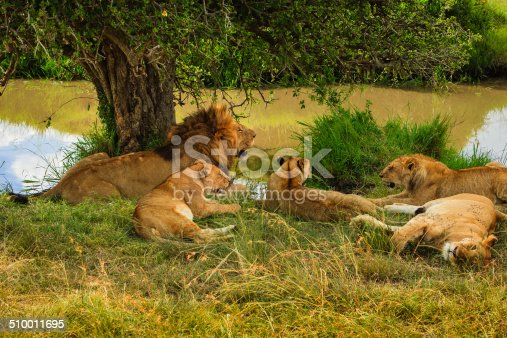 A pride of lions resting in the shade of a small tree by a water-hole in the afternoon heat of the Masai Mara, in Kenya, East Africa. They have just had a big meal. Picture shows a male with several young lions from his pride. Photo shot in the afternoon sunlight; horizontal format. No people.