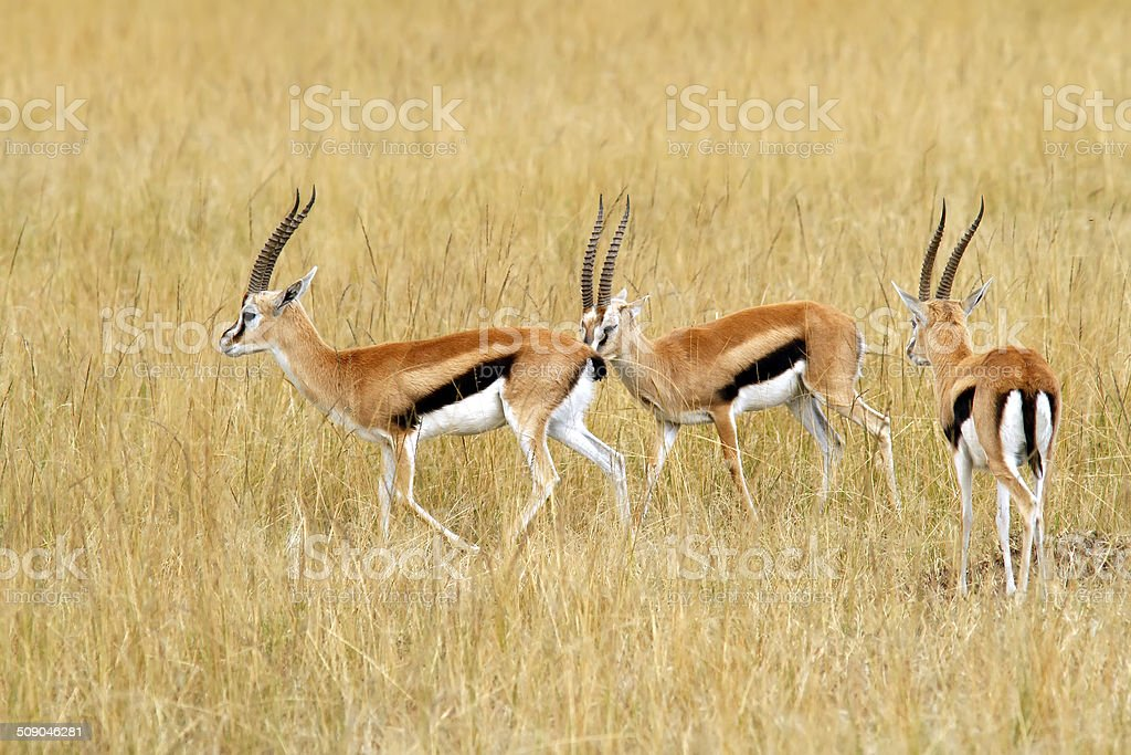 Masai Mara Thomson's Gazelles stock photo
