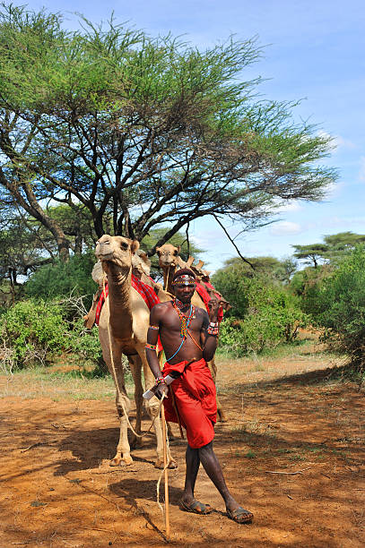 Masai warrior with his camels in the bush stock photo