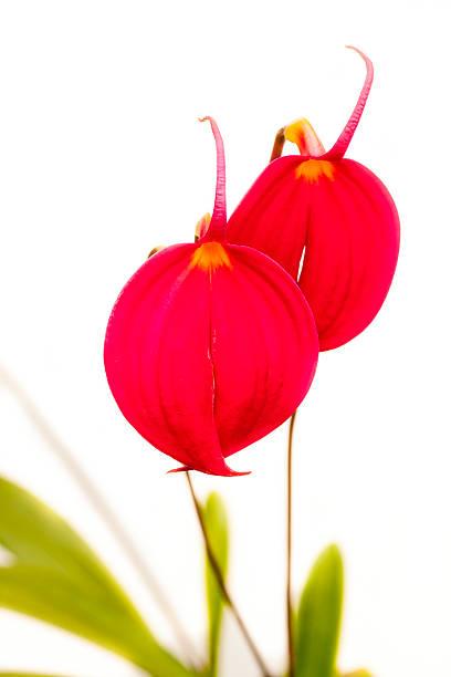 Masdevallia coccinea orchid – Foto