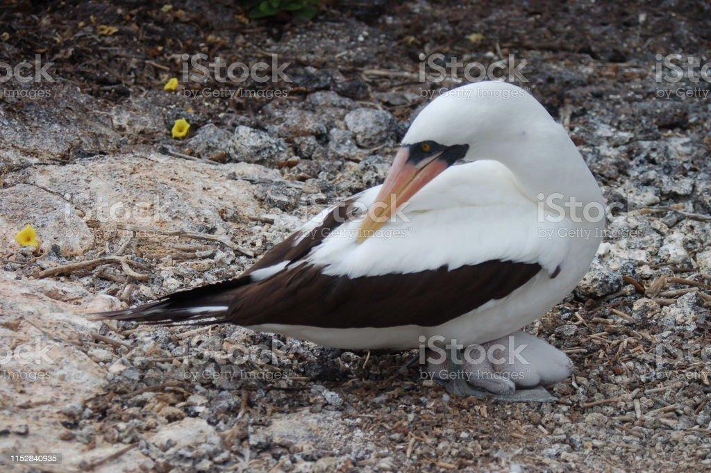 Masked Boobies bird, Galapagos Islands