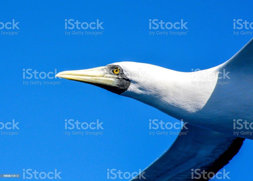 Masked Booby (sula dactylatra) adulto en vuelo contra el cielo azul, Fernando de Noronha, Pernambuco, Brasil - foto de stock