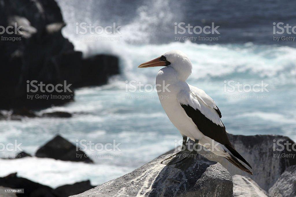 Piquero de nazca, altura de las islas galápagos - foto de stock