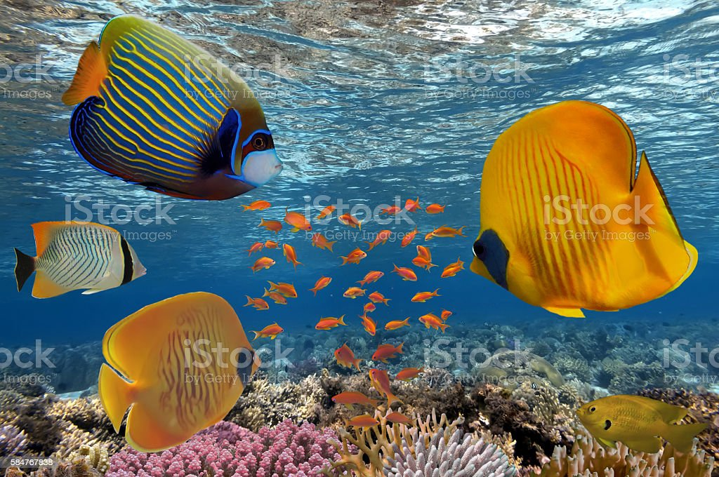 Masked Butterfly Fish and coral reef, Red Sea stock photo