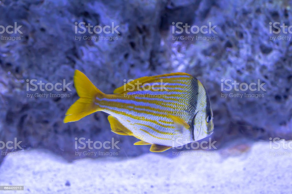 Masked butterfly fish stock photo