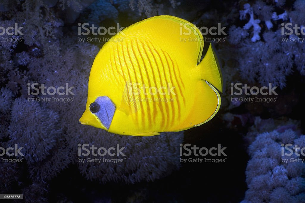 Masked Butterfly Fish (Chaetodon semilarvatus) royalty-free stock photo