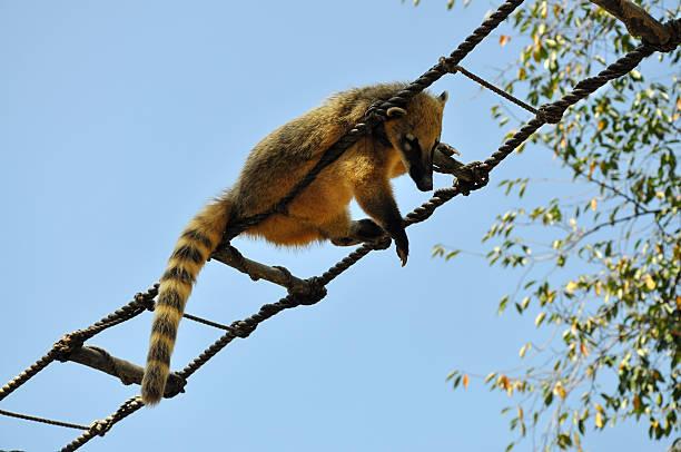 enmascarado/del himalaya gato civeta de los palmares - gato civeta fotografías e imágenes de stock