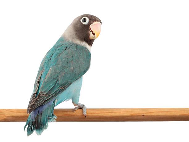 masked lovebird in blue color mutation - neerstrijken stockfoto's en -beelden