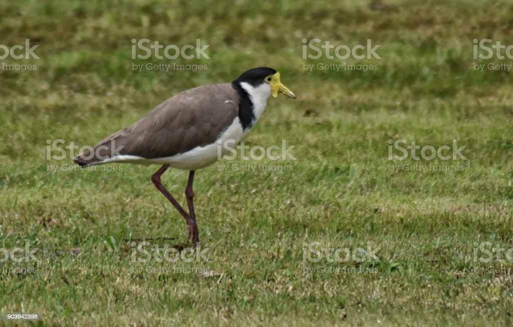 Masked Plover (Vanellus miles) stock photo