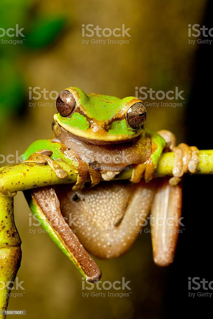 masked tree frog stock photo