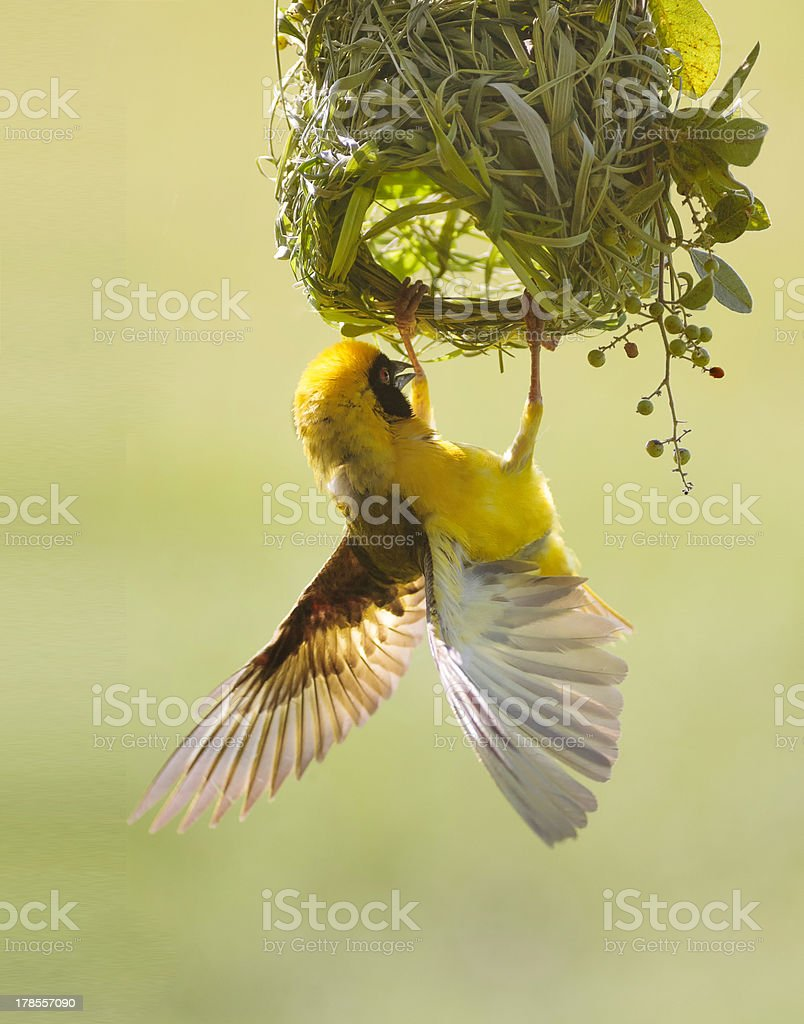 Masked Weaver Bird stock photo