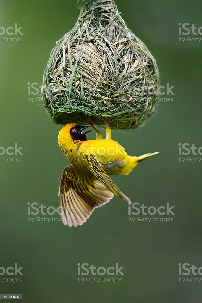Masked weaver bird with hanging nest stock photo