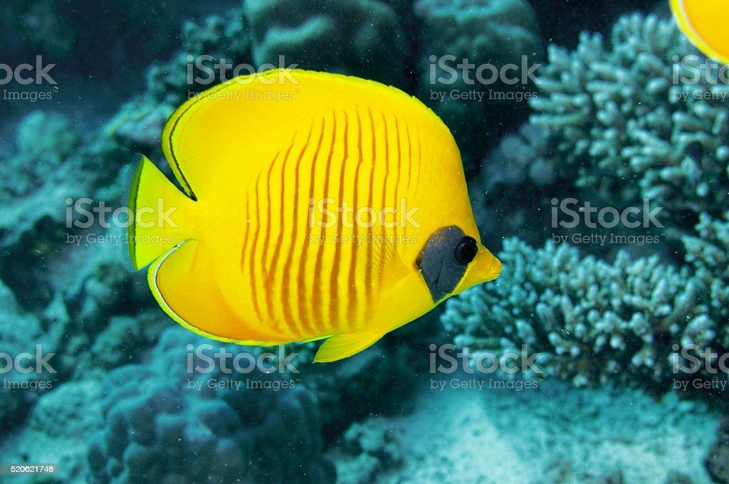 Masken-Falterfisch stock photo
