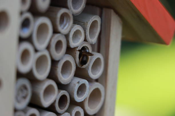 Mason bee at the entrance of an insect hotel stock photo
