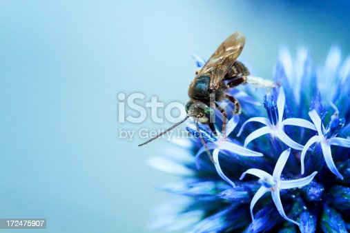 Mason Been On A Blue Thistle Flower. Osmia lignaria