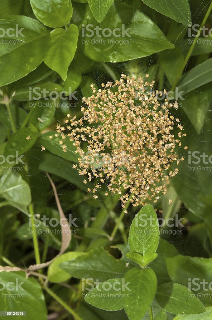 Mass bundle of yellow baby garden spiders royalty-free stock photo