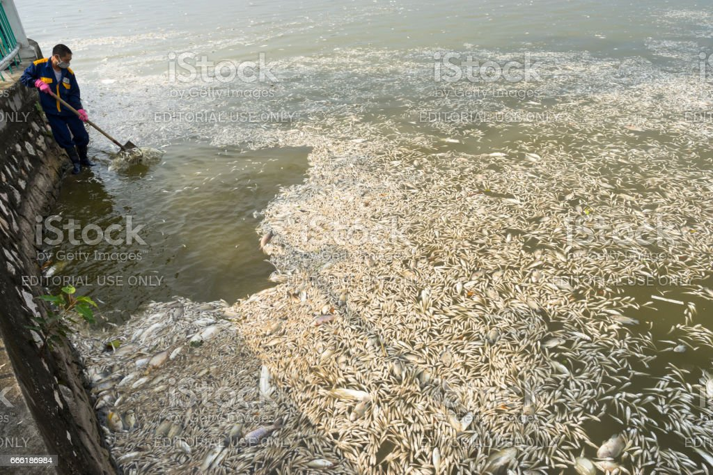 Hanoi, Vietnam - Oct 2, 2016: Mass dead fish on lake with Garbage collector, environment workers take mass dead fishes out from West Lake stock photo