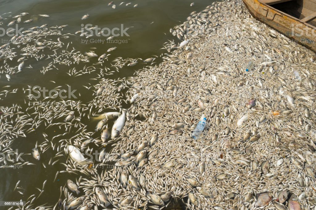 Mass death of fish floating on polluted lake water stock photo