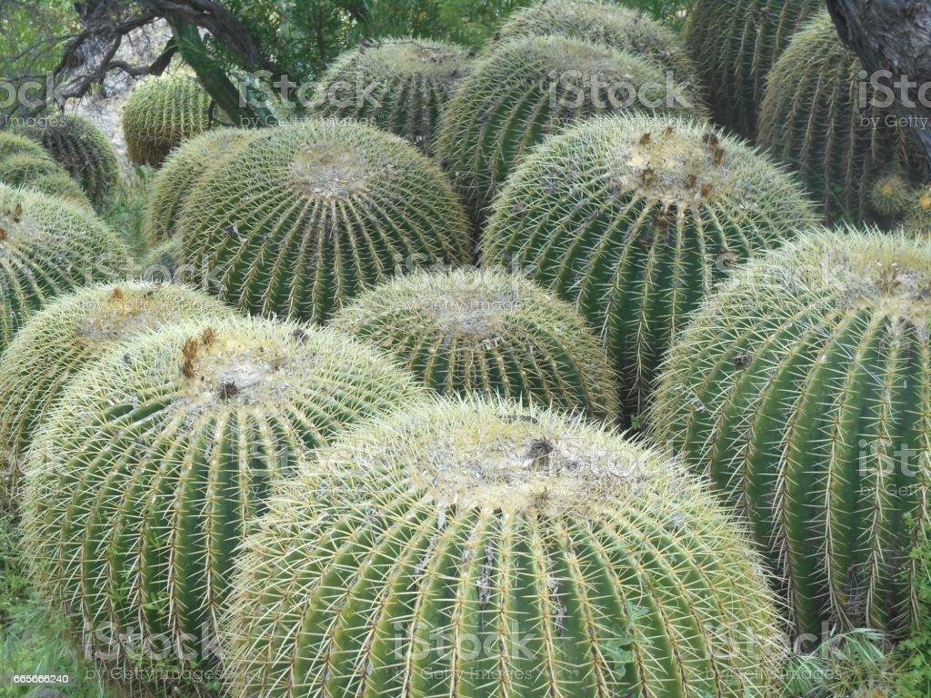 Mass of Barrel Cacti stock photo