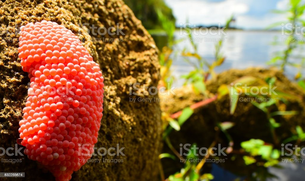 Mass of bright apple snail pink eggs on river bank stock photo