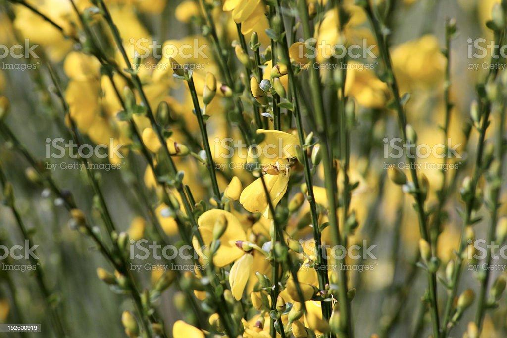 Mass of Broom (Cytisus scoparius) royalty-free stock photo