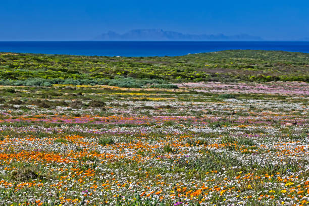 mass of wildflowers in west coast national park - table mountain national park stock pictures, royalty-free photos & images