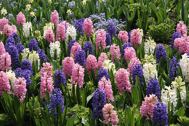 대용량 나무를 완벽하다 연두빛 hyacinths - 히아신스 뉴스 사진 이미지