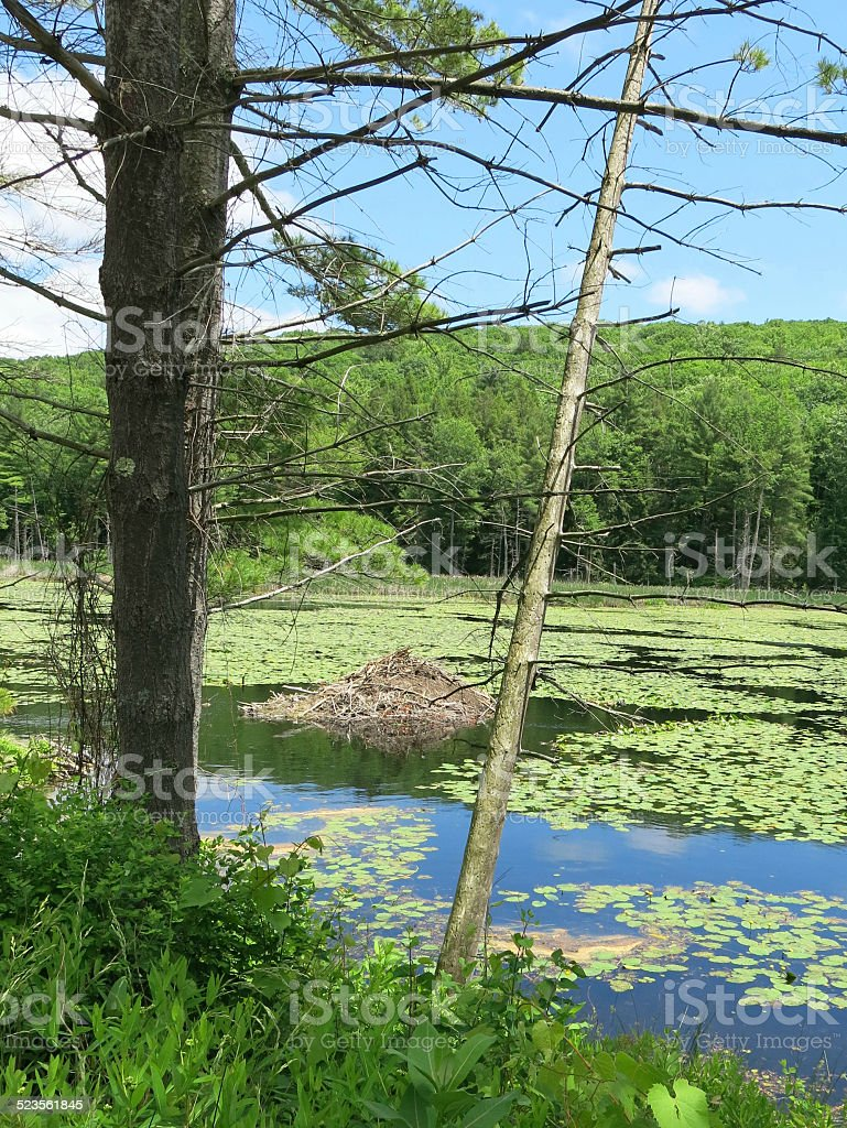 Massachusetts Beaver Dam on a Summer Day with Lily Pads stock photo