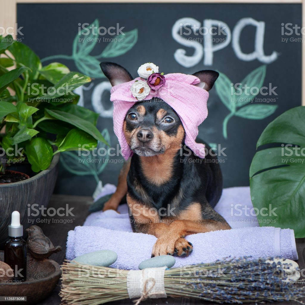 Massage and spa, a dog in a turban of a towel among the spa care...