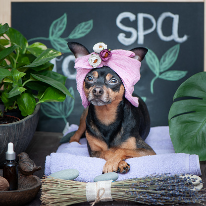 istock Massage and spa, a dog in a turban of a towel among the spa care items and plants. Funny concept grooming, washing and caring for animals 1125373058