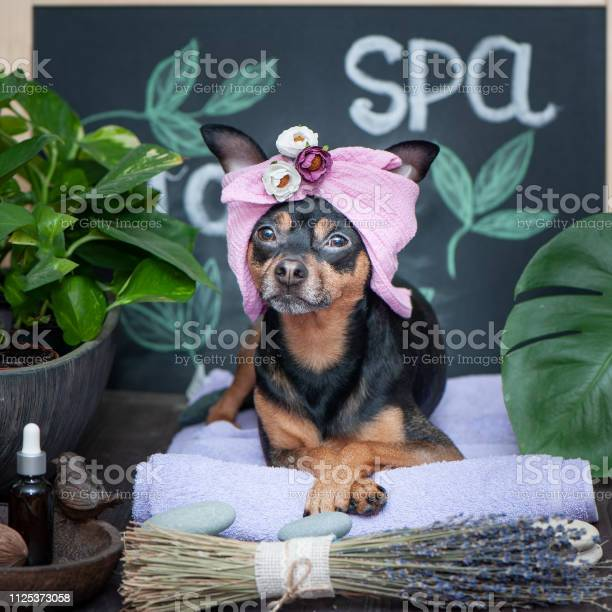 Massage and spa a dog in a turban of a towel among the spa care items picture id1125373058?b=1&k=6&m=1125373058&s=612x612&h=p4yw8lgikaat3jd aav 2j5x qiriwfjeg6izrahfqc=