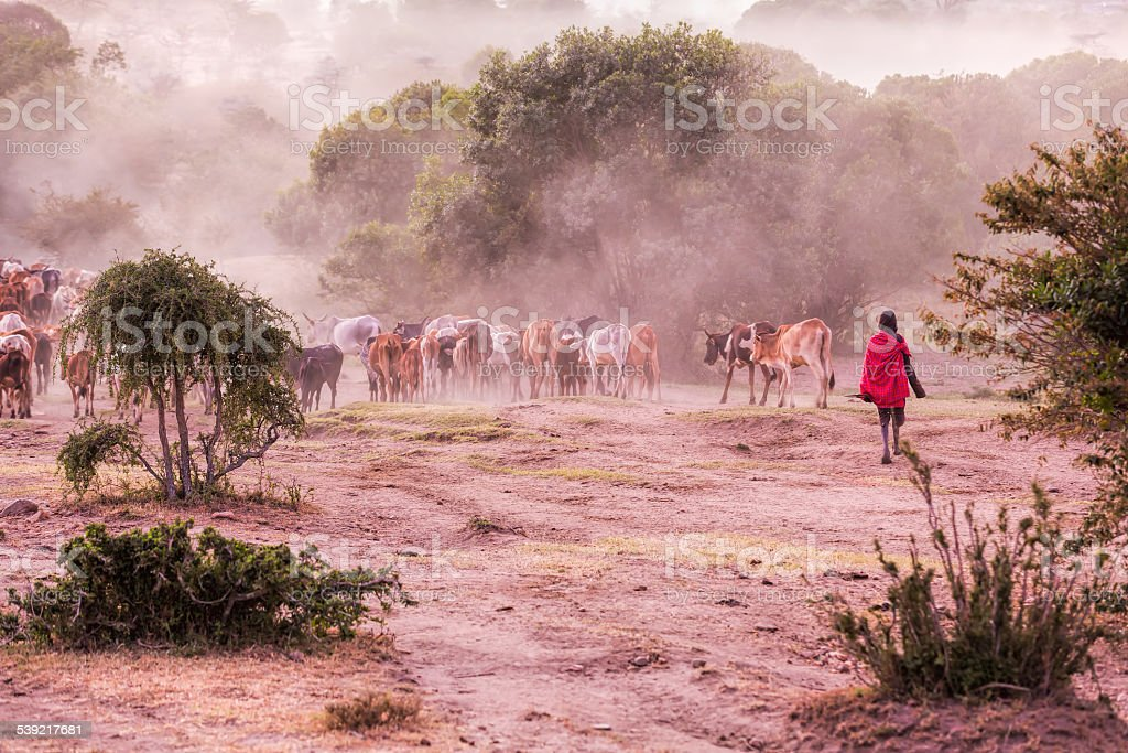 Massai Herder and Cattles stock photo