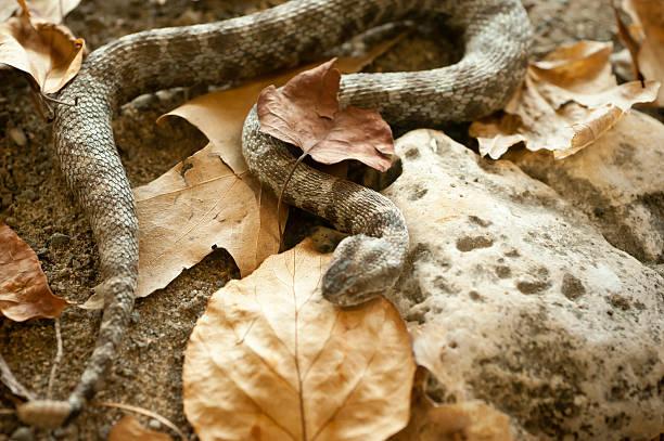 Massasauga Rattlesnake stock photo