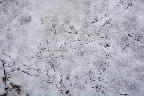 Masses of bird tracks in the snow stock photo